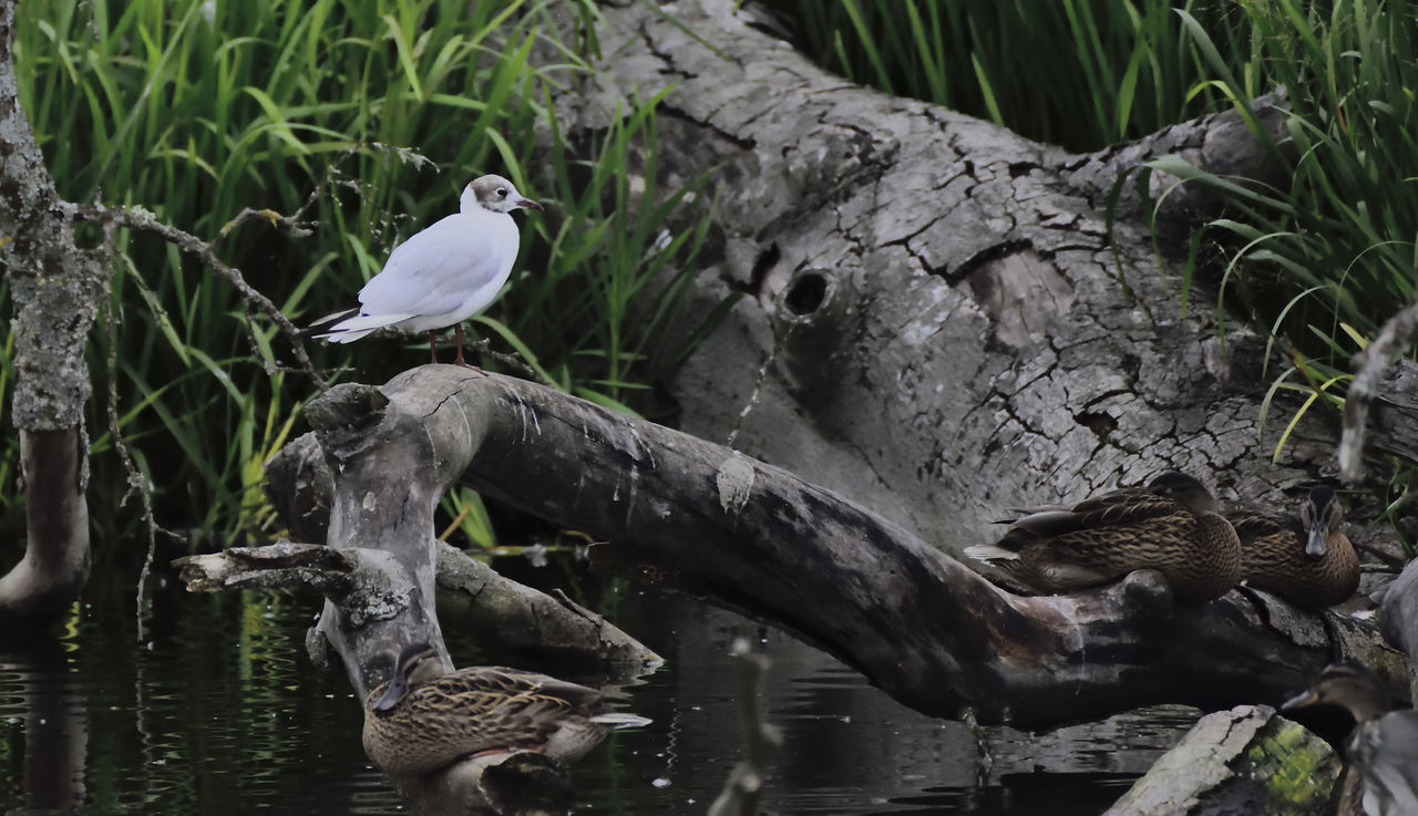 Avian Beauty In Nature Bird Bird Photography Birds Of EyeEm  Birds_collection Black Headed Gull Chroicocephalus Ridibunus Day Fallen Tree Female Mallard Nature No People Outdoors Tranquility Water Wildlife