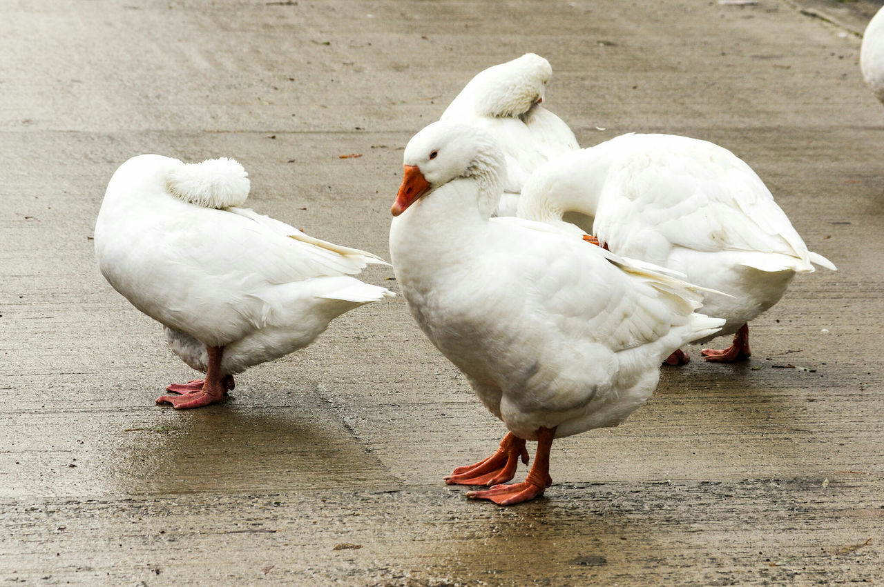 bird, white color, animal themes, animals in the wild, day, togetherness, swan, outdoors, nature, no people, close-up