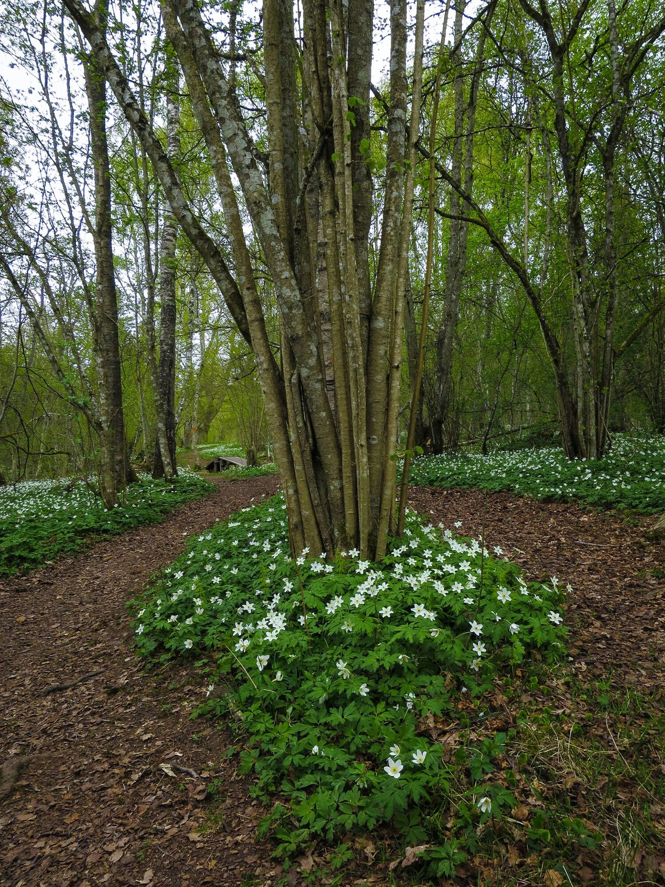 A lot of Wood Anemone s this time of the year ☺. Nature Reserve Trekking Forest