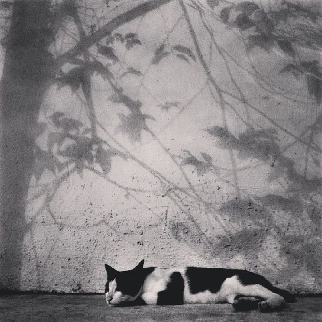 """""""Hola again. This time i am in the realm of B&W. A stark reality that my Juliet will never appear!"""" Wondering what i am blabbing about? Kindly check my previous thoughts. ~@^_^@~"""" Cat Catstagram Kitty Instacat Instameow Meow Allshots_ Artthursday Artphoto_bw Bws_artist_asia Bwstylesgf Bnw_life Bnwalma Bnw_worldwide Bws_worldwide Bnw_captures Bws_streets Bw_singapura Cafe_noir Dailythemes Gang_family Gf_daily Jj  Streetbw Singapore shadowplay shadow storyoftheday instagram webstagram"""