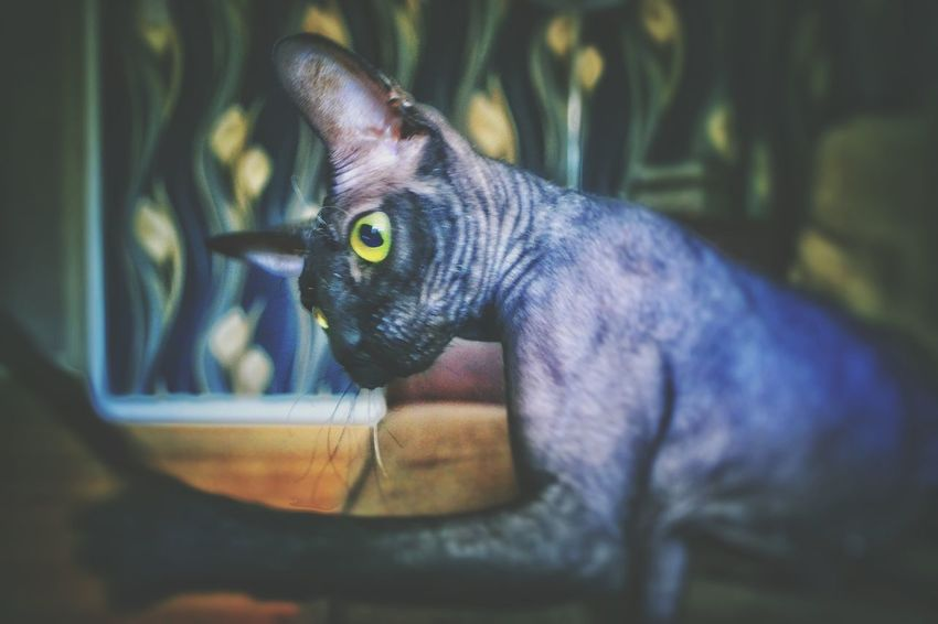 Hanging Out Taking Photos Check This Out Hello World Relaxing Stunning Eyes Everyday Emotions Pets Corner Liverpool England Canadian Sphynx Edited By Me