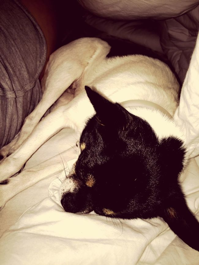 Sleeping Dog Chihuahua ❤️🎀🐶🐩