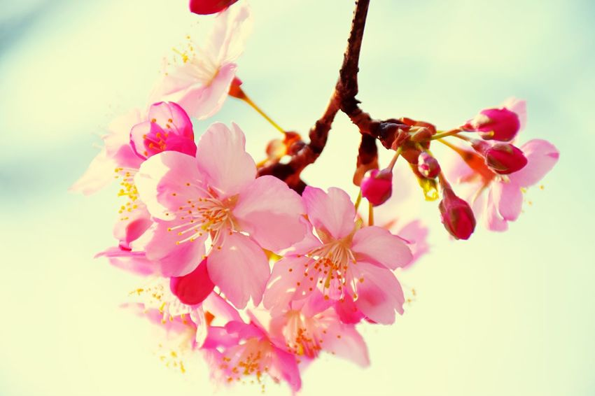 a touch of spring Cherry Blossoms Pink Color Spring Flowers EyeEm Nature Lover Capture The Moment Showcase March Nikon Japan
