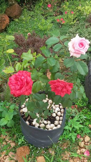Flower in the rasau jaya