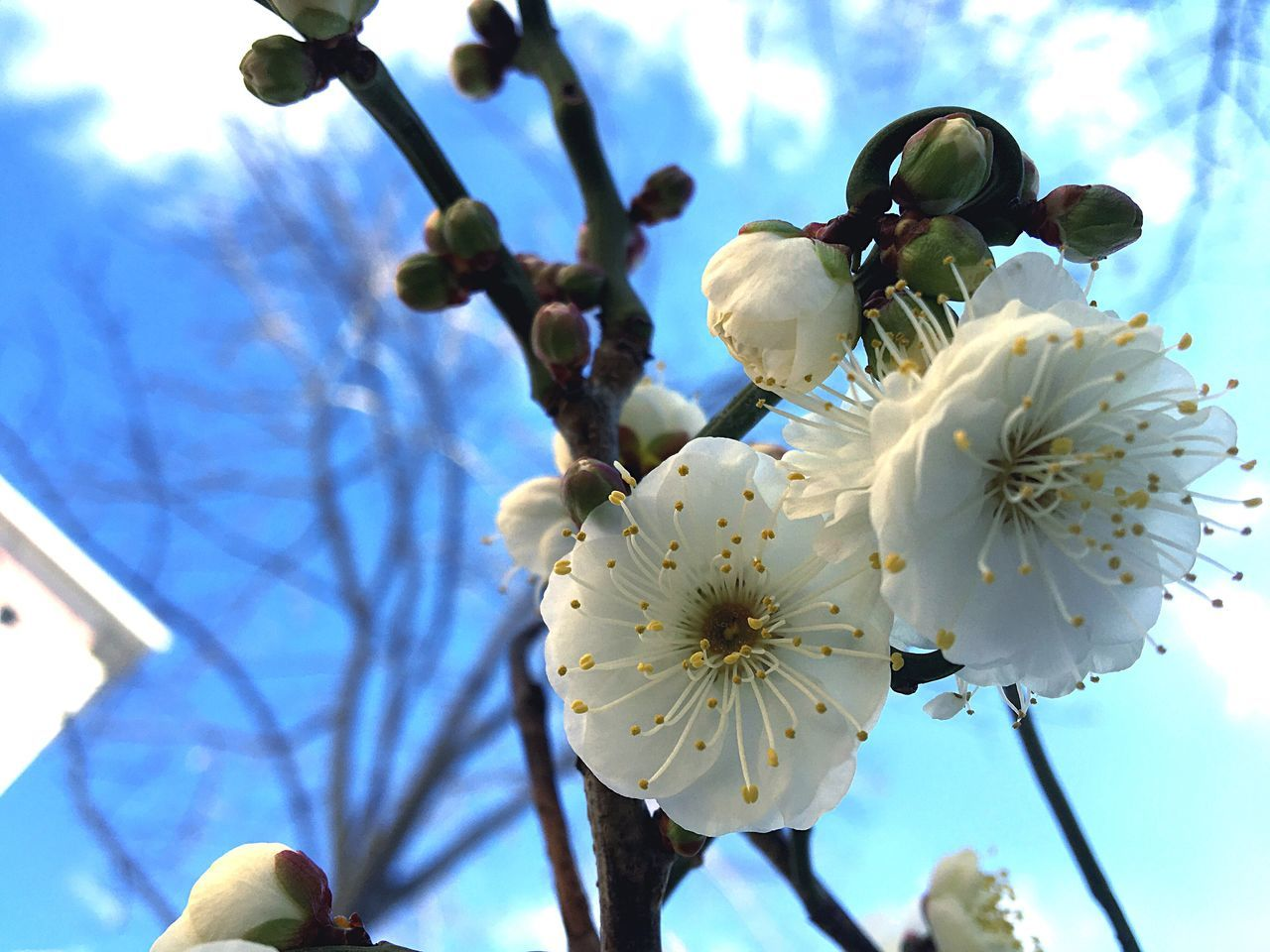 Growth Low Angle View Nature Beauty In Nature Flower Fragility Tree White Color Sky No People Petal Day Springtime Outdoors Freshness Blossom Branch Flower Head Blooming Close-up