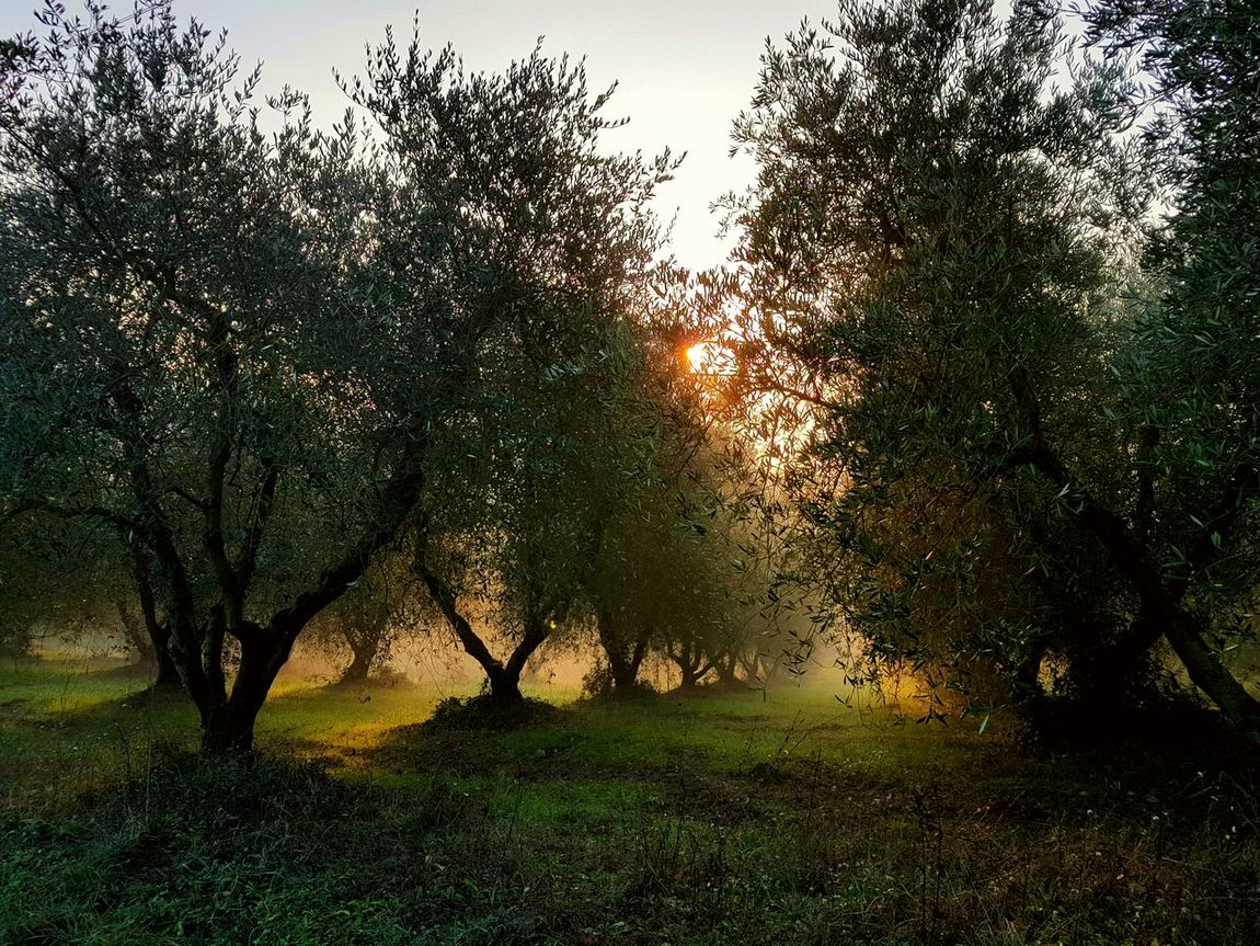 Tree No People Sunlight Grass Outdoors Scenics Beauty In Nature Nature Nebbioso Giocare Feel The Journey Freshness Foggy Nebbia Fog Foggy Day Passeggiarenellanatura Giocare Con La Luce Esagerato Feel The Journey, EyeEm Best Shots Sunset Magic Moments Magia Natural Magic Forest