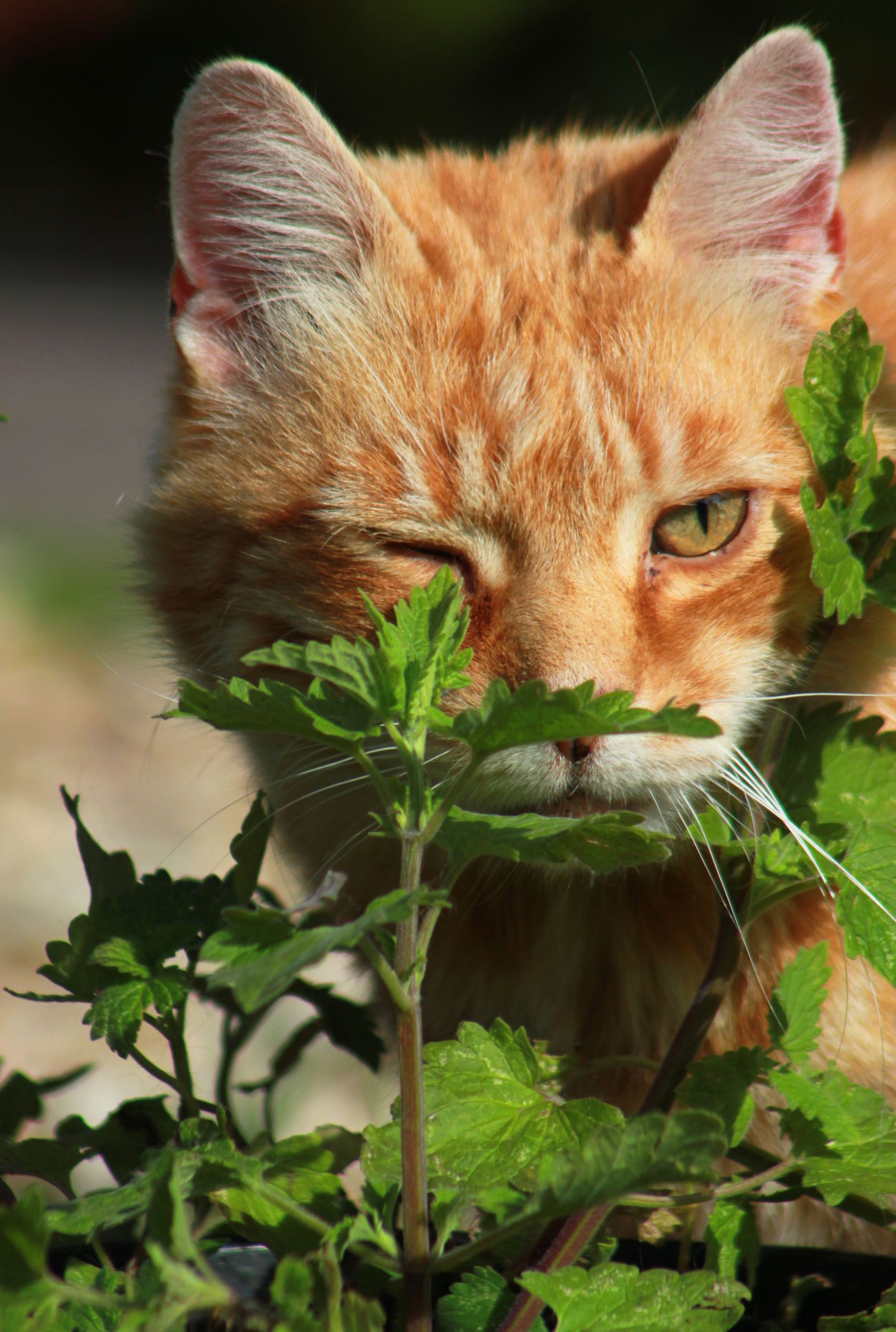 Catnip addict Animal Themes Cat Catnip Close-up Day Domestic Animals Domestic Cat Feline Ginger Cat Looking At Camera Mammal No People One Animal Outdoors Pets Plant Portrait Wink Winking Cat