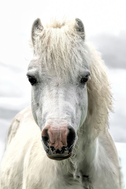 Quizzie the beautiful white pony Pony White Pony Animal Head  Animal Themes Close-up Cold Temperature Day Domestic Animals Focus On Foreground Horse Livestock Looking At Camera Mammal Nature No People One Animal Outdoors Pony Eye Portrait Sky Snow White Pony