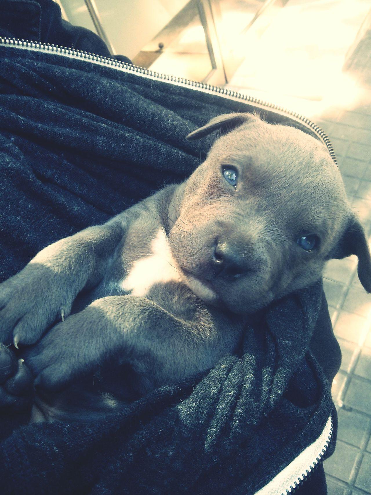 Beautiful stock photos of pitbull, Animal Themes, Cute, Day, Dog