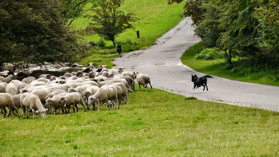 Sheep dog at work Domestic Animals Livestock Grass Sheep Large Group Of Animals Grazing Flock Of Sheep Outdoors Rural Scene Beauty In Nature Nature Dog Sheep Dogs At Work EyeEm Gallery EyeEm Selects Taking Photos The Week On EyeEm Naturelovers Animals