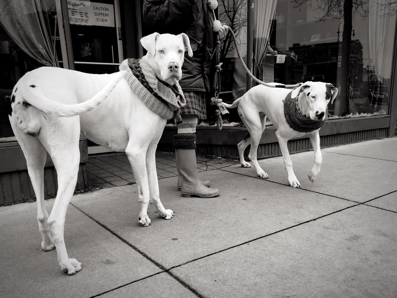 These dogs were beauties. Dogs Pets Great Dane Streetphotography Streetphoto_bw Portrait Of America
