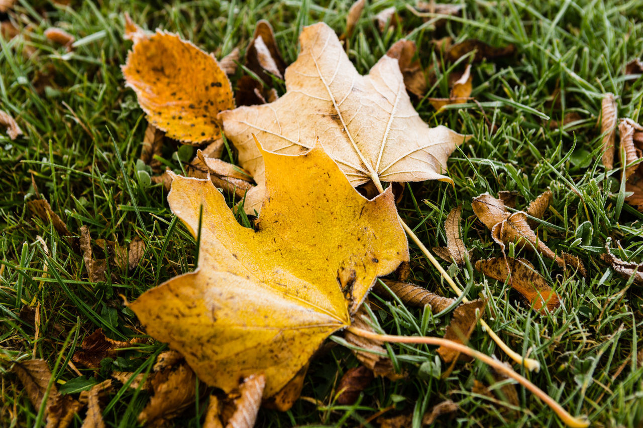 Frost covered yellow fallen autumn leaves laying in green frost covered grass Autumn Beauty In Nature Change Close-up Day Dry Early Morning Early Winter Early Winter Morning Field Frosty Mornings Grass Green Grass High Angle View Late Autumn Leaf Maple Leaf Nature No People Outdoors Yellow Leaves