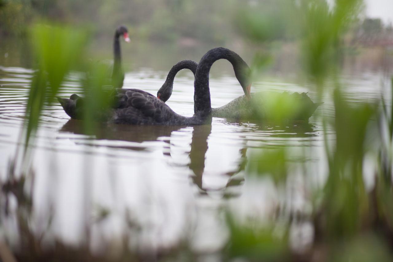 Black Swans Floating On Lake