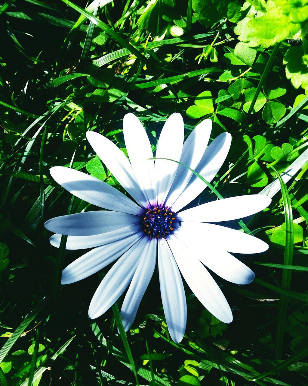 flower, petal, white color, fragility, flower head, growth, nature, beauty in nature, osteospermum, freshness, blooming, day, plant, close-up, no people, outdoors