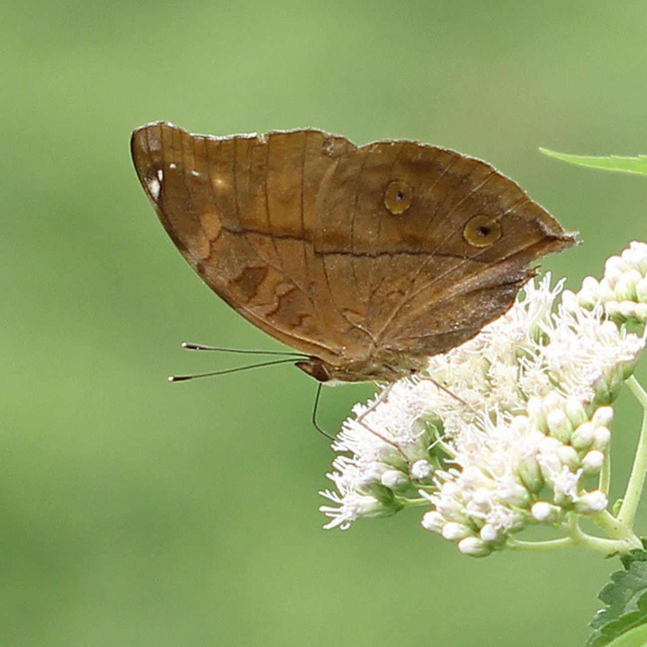 Brown & white. Butterfly Kupukupu Nature Flowers flower closeup