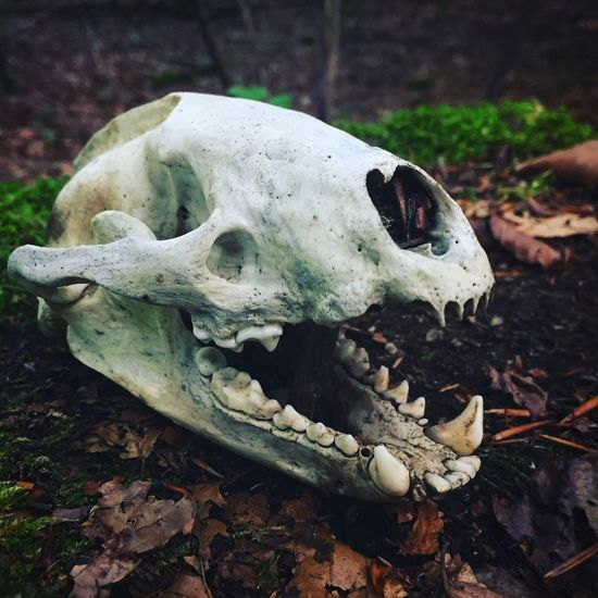 Into the Woods Animal Skull Animal Bone Animal Skeleton Bone  Skeleton Animal Body Part Skull No People Close-up Day Outdoors Animal Themes Fox Death Circleoflife EyeEmNewHere EyeEm Nature Lover