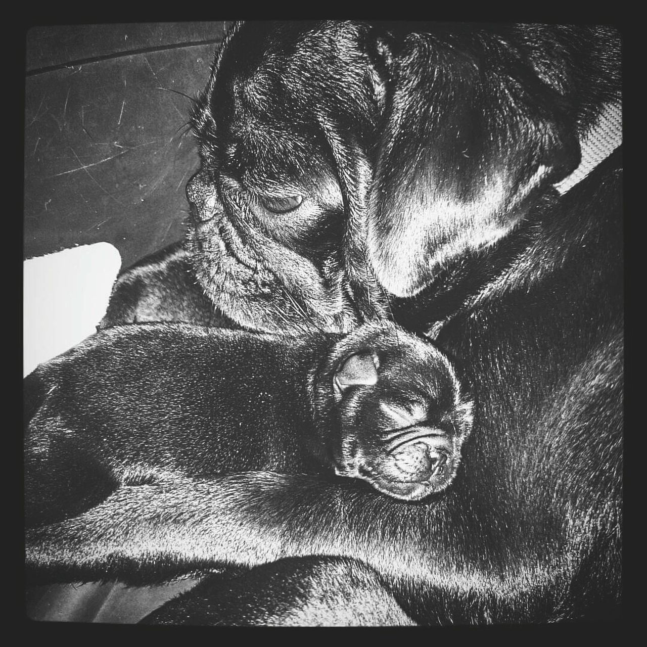 A mother's love. Puppy Pug Life  Pug Pug Love Pugofmylife Puglover Pugsnotdrugs  Pug Time PugPuppy Pet Photography  Pet Owner Pets Pet Love Petslife Dog Life Dogphoto Blackandwhite Monochrome Black And White Photography EyeEmNewHere