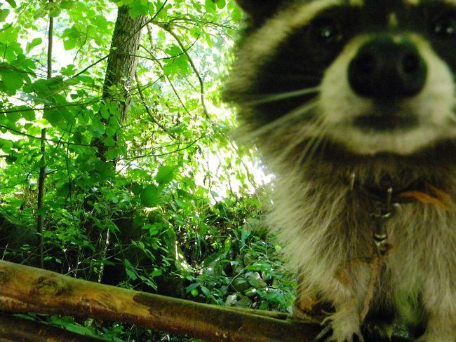👑🐱 Animals Animalplanet Animal_collection Raccon