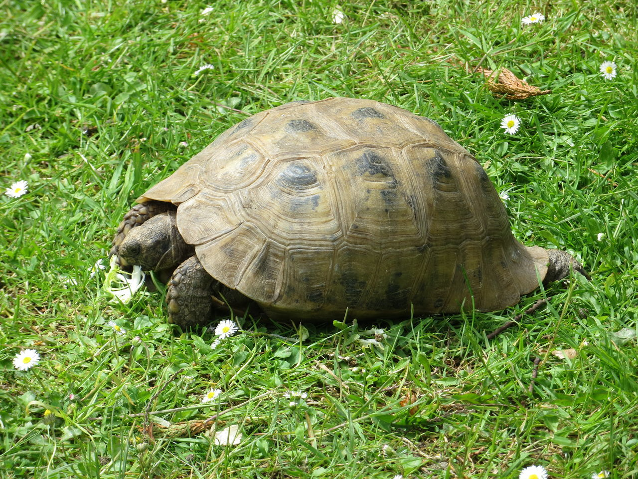 High Angle View Of Tortoise On Grassy Field