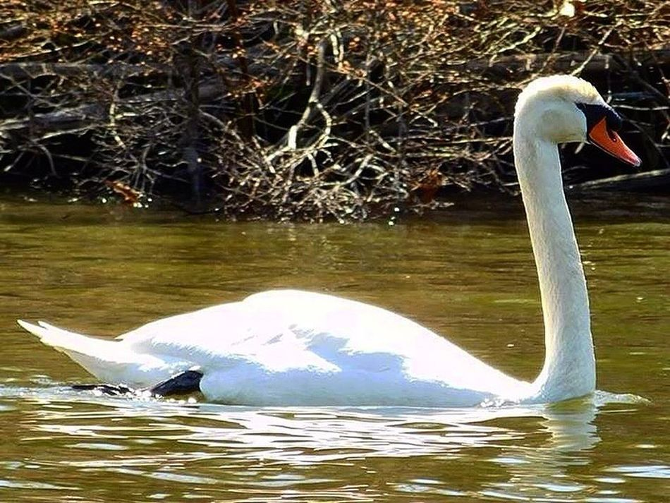 Animals In The Wild Bird Water Animal Wildlife Animal Themes One Animal Swan Nature Outdoors No People Beauty In Nature Nature_collection Beauty In Nature