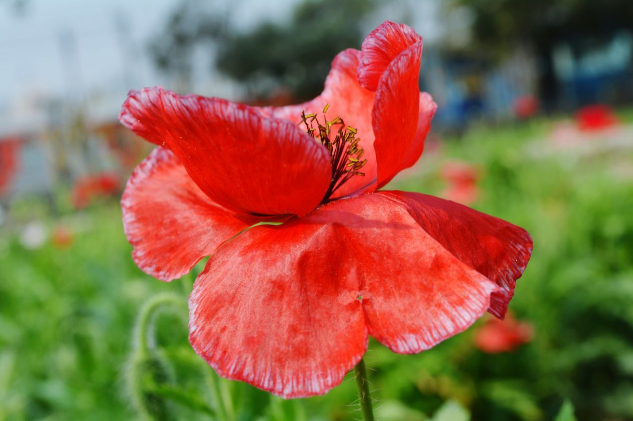 flower, petal, nature, beauty in nature, red, growth, fragility, focus on foreground, flower head, plant, close-up, outdoors, day, no people, freshness, blooming, hibiscus, day lily