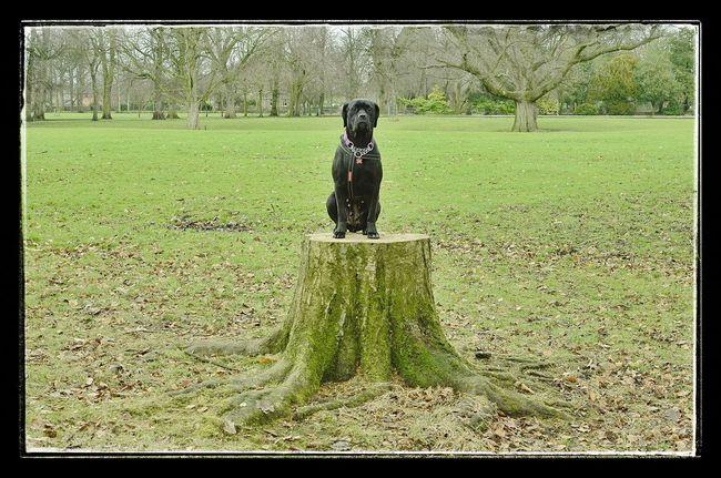 Cane Corso I Love My Dog Dog Mydog Italian Mastiff Statue Sat On A Tree Trunk Longford Park