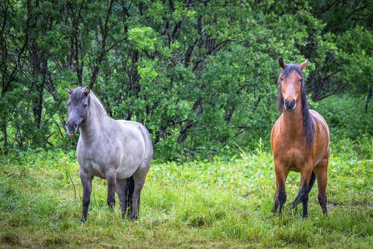 Animal Themes Arctic Day Domestic Animals Forest Grass Growth Horse Livestock Looking Mammal Nature No People Northern Norway Norway Outdoors Rain Rainy Days Standing Tree Weather Wet