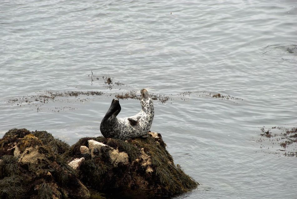 Beautiful stock photos of seal, Pacific Grove, United States, Waving, animal Themes