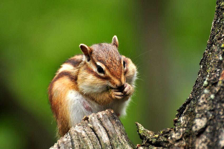 Photopackers Oksk 나미나라 가평 경기도 Naminara In Korea Squirrel Squirrel Closeup