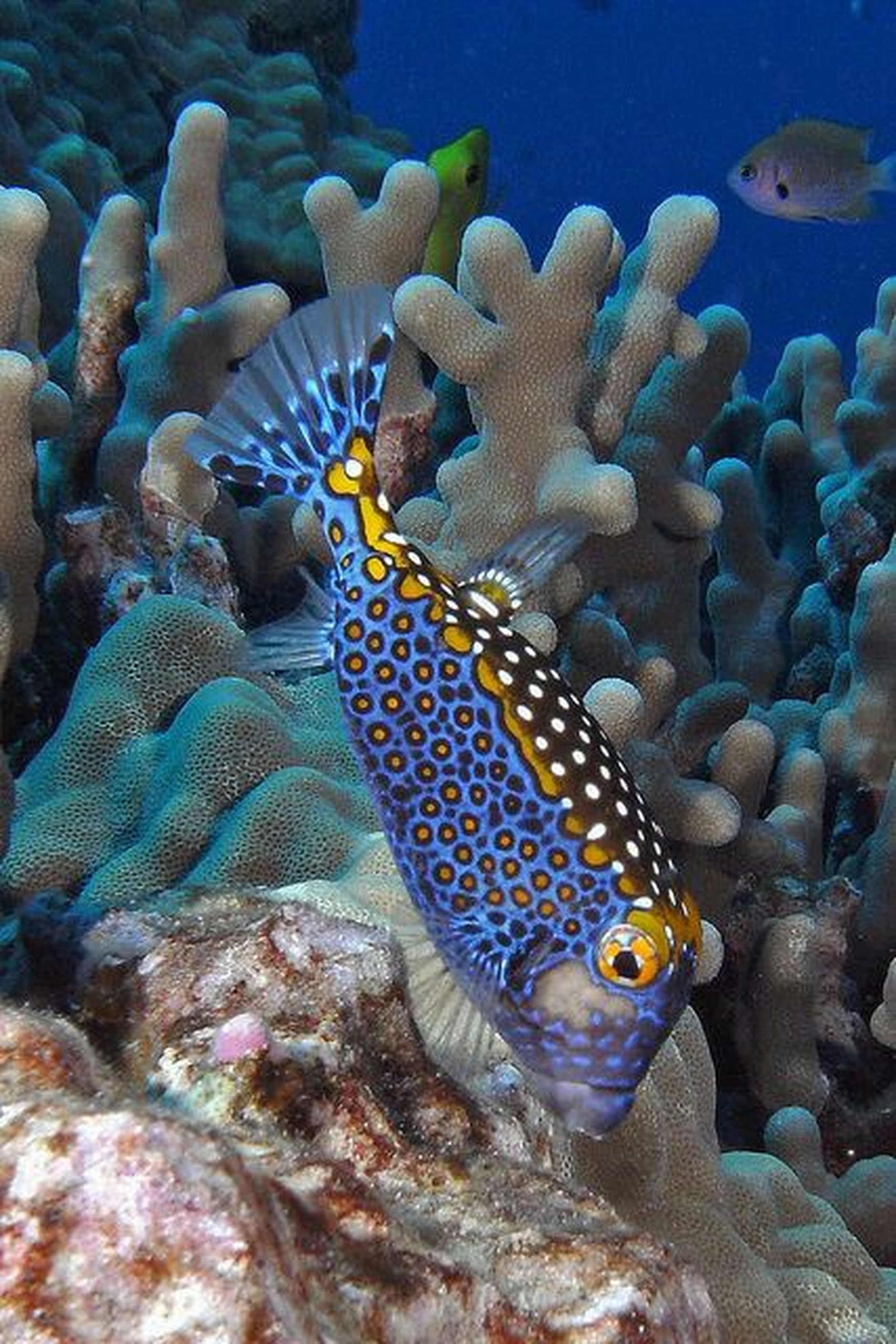 animal themes, animals in the wild, underwater, sea life, wildlife, fish, swimming, undersea, water, one animal, sea, aquarium, animals in captivity, coral, rock - object, nature, blue, beauty in nature, close-up, two animals