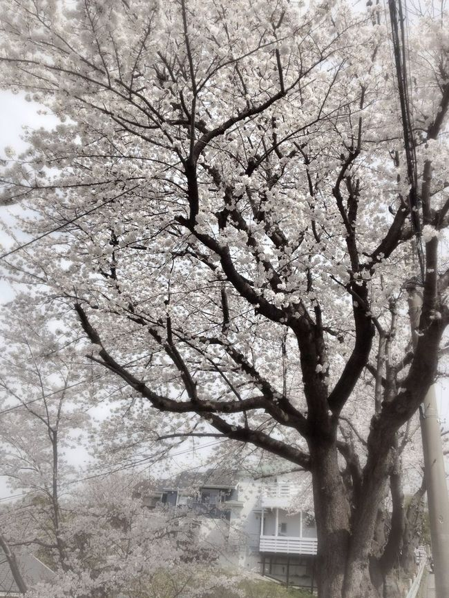 Streetphotography Spring Feeling Cherry Blossoms Flores