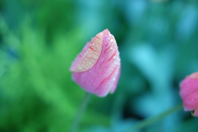Flower Tulip Why Are You So Beautiful Nature Color Fujixa2 Lovely Dew Drops