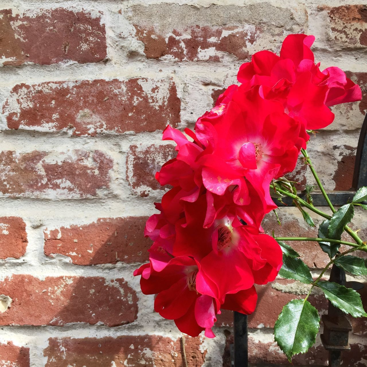 Roses Red Roses Heirloom Roses Brick Wall Red Flowers