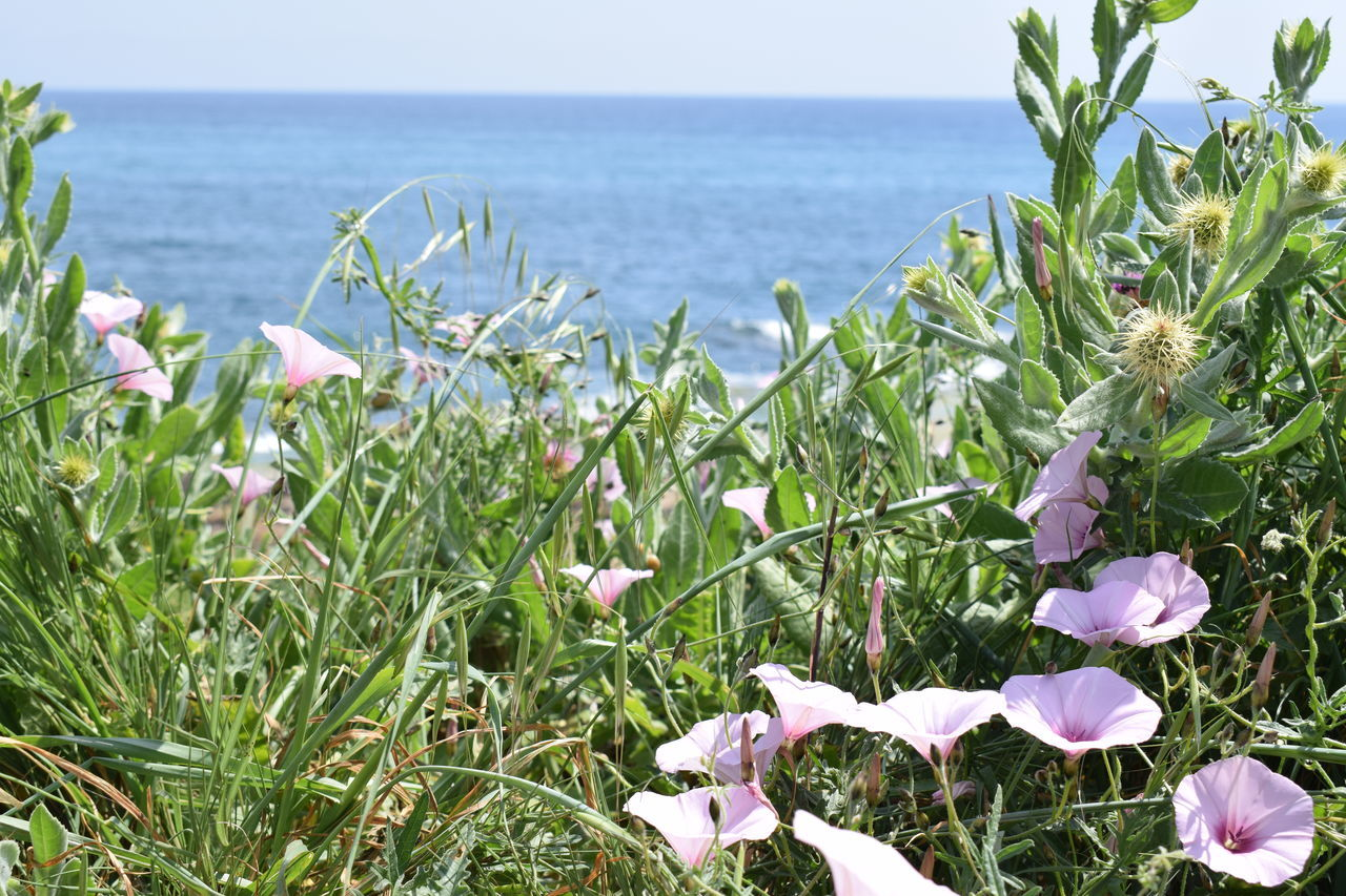 Spring blossom by the sea Beauty In Nature Blooming Close-up Day Flower Flower Head Fragility Freshness Grass Growth Horizon Over Water Ipomea Mediterranean  Nature No People Outdoors Petal Plant Scenics Sea Sky Spring Tranquility Water