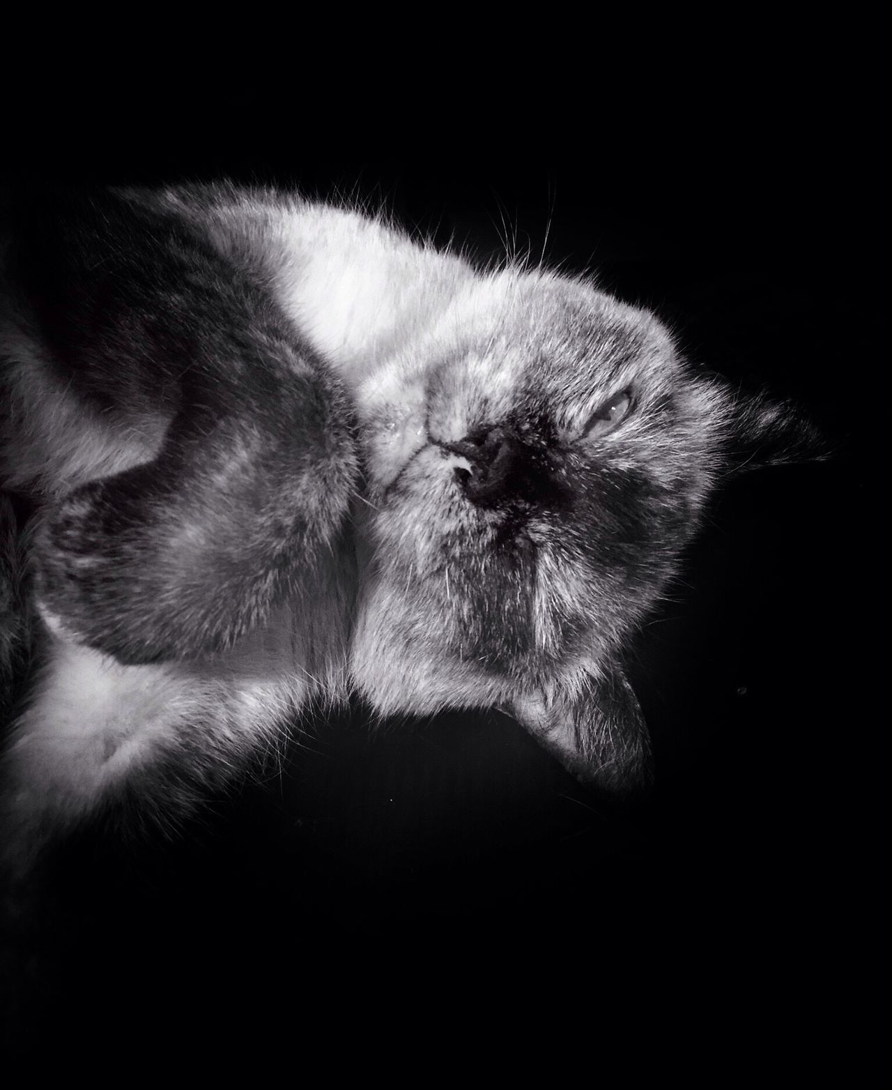 One Animal Animal Themes Domestic Cat Pets Domestic Animals Close-up Mammal Feline Cat Animal Head  Black Background Zoology Studio Shot Whisker No People Lola❤️ Blackandwhite From My Point Of View Check This Out Pet Cute Wink