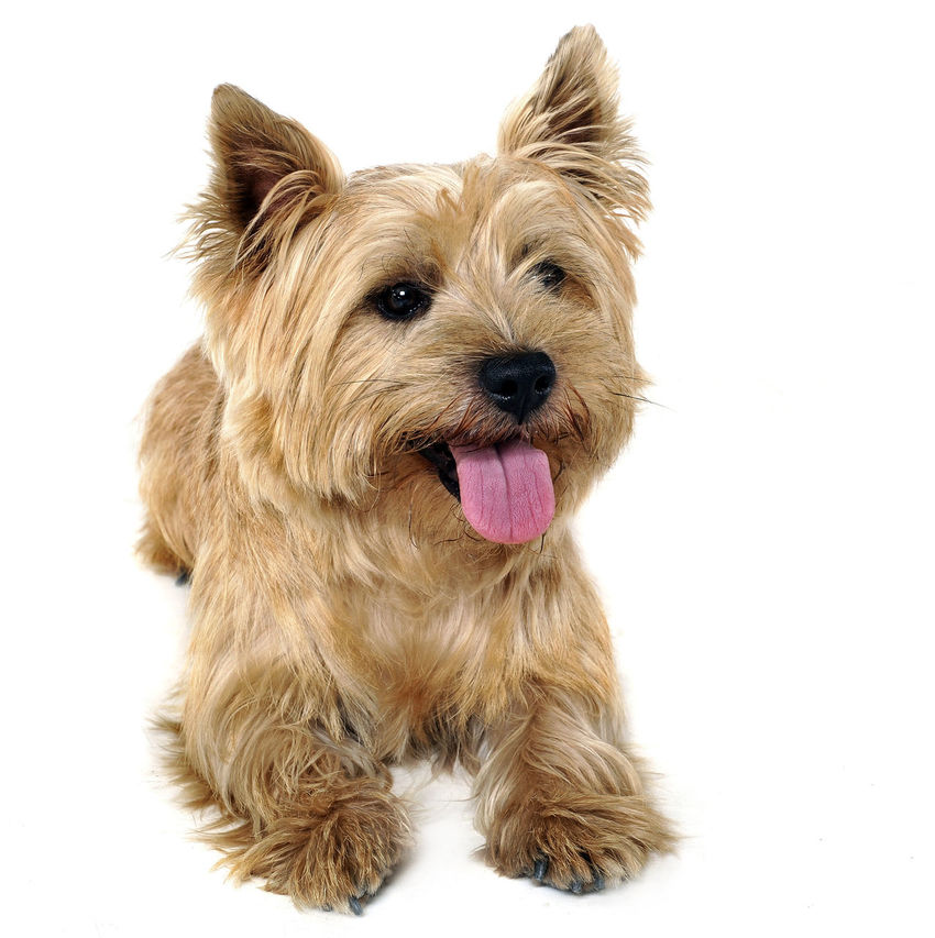 Animal Hair Animal Themes Brown Close-up Cut Out Cute Dog Domestic Animals Mammal No People One Animal Pets Portrait Studio Shot White Background