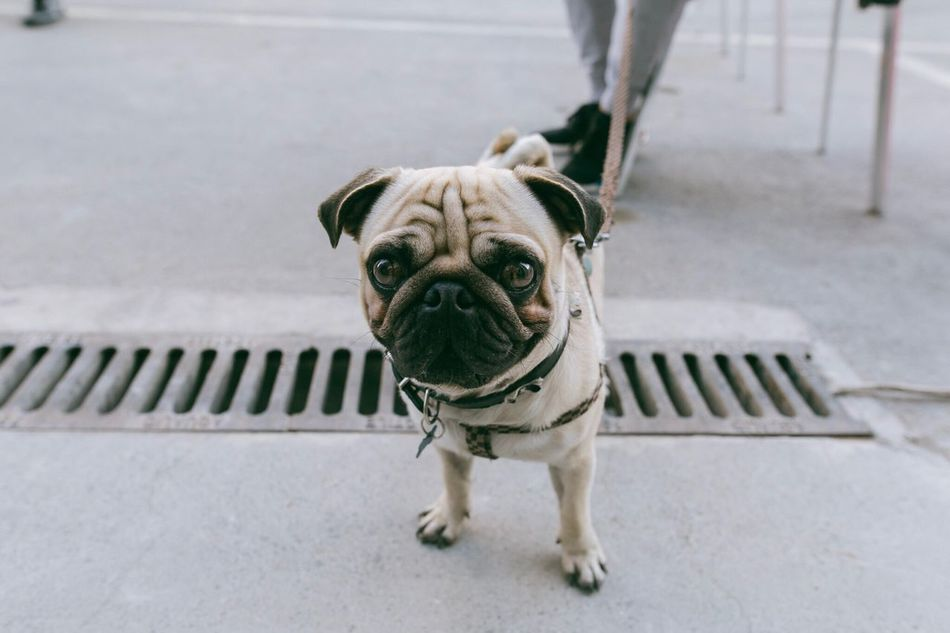 Pug Dog called Marco One Animal Dog Looking At Camera Portrait Animal Themes Pets Domestic Animals High Angle View Mammal French Bulldog No People Day Pug Close-up Outdoors Pug Pug Dog