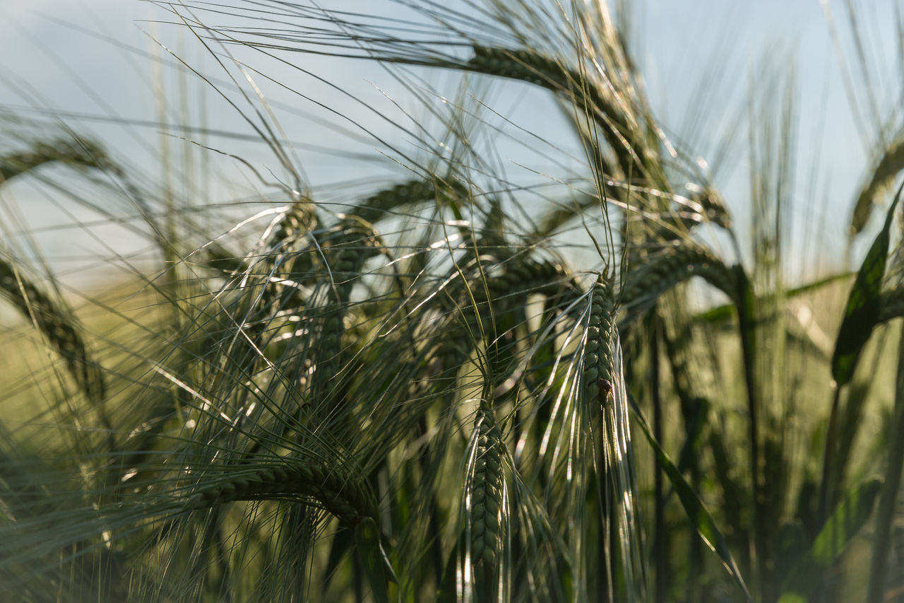 growth, nature, focus on foreground, day, no people, outdoors, close-up, plant, tranquility, field, agriculture, cereal plant, beauty in nature, ear of wheat, wheat, grass, sky