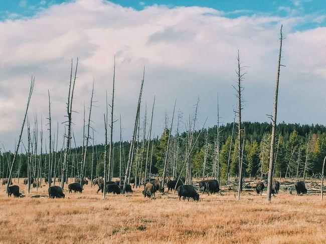 Landscape Bison National Park Travel Destinations Tranquil Scene Animal Nature Outdoors