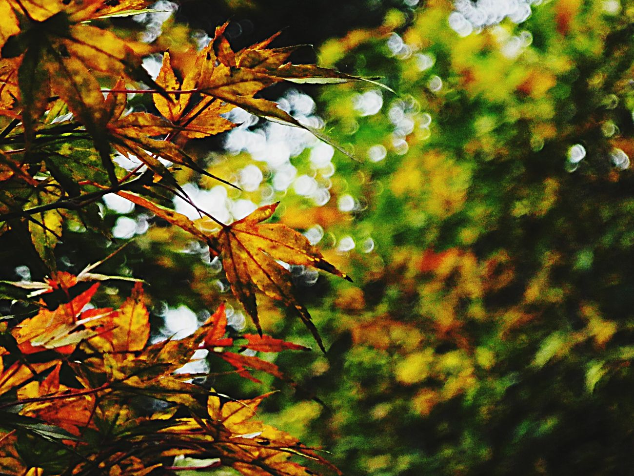 Maple Beautiful Nature Nature Green Yellow Peace And Quiet Relaxing Changsha Nature_perfection