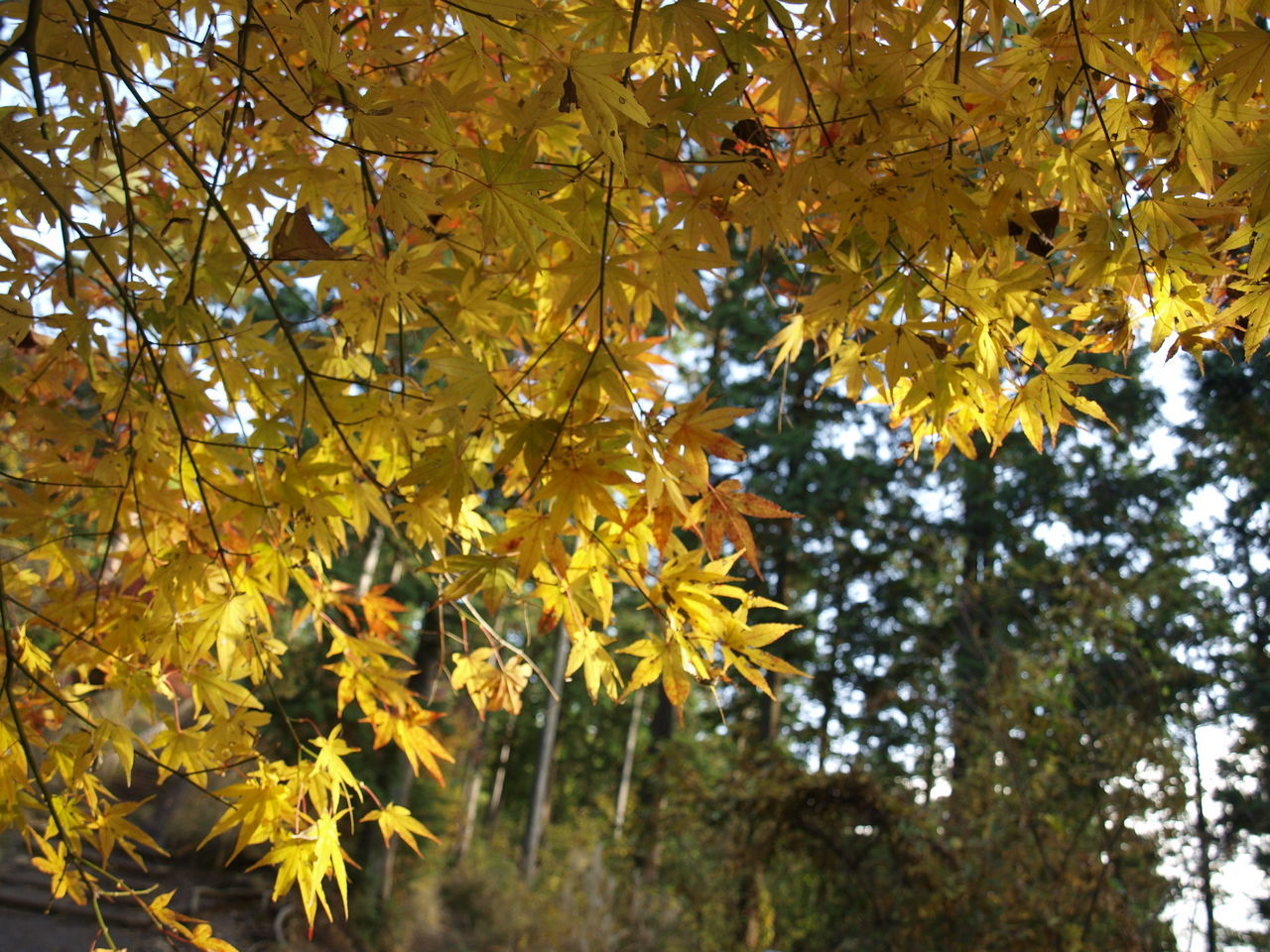 Tree Yellow Green Fine View Daylight Nature Walking Countryside Autumn Leaves Autumn Momiji Autumn Colors Momijigari Sightseeing Outdoors Japan Hiking Beautiful Jinba Mountain Mountain Takao Mountain Trekking Activity Red Sky
