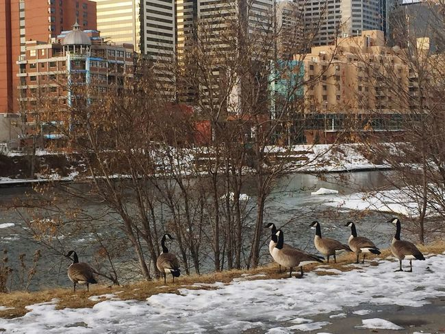 Canada Canada Geese Early Morning Urban Landscape Hanging Out Calgary Bow River Walking Around The City  Love It ❤