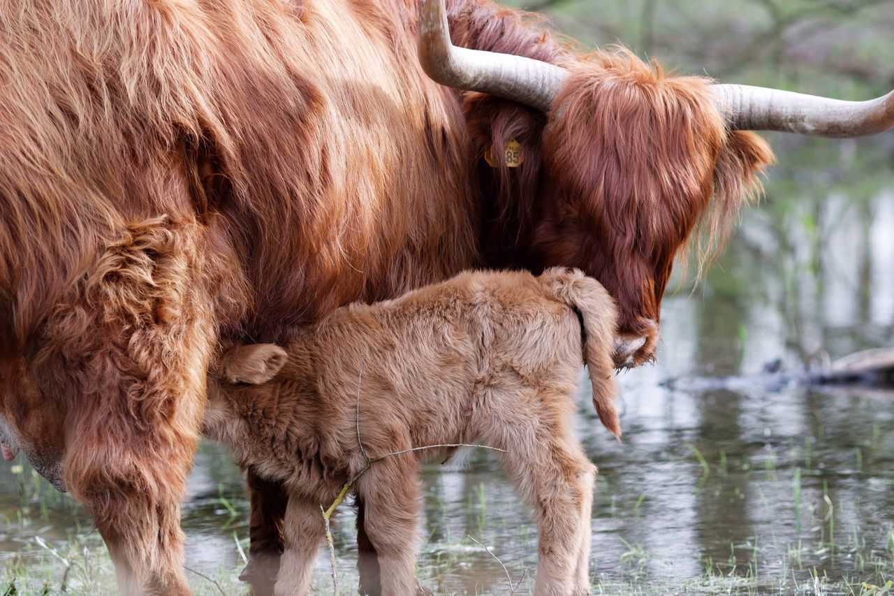Newly Born This Week On Eyeem Highland Cattle Domestic Animals Animal Themes Mammal Livestock Highland Cattle Brown Cow Herbivorous Standing Cattle No People Outdoors Nature Day Babygirl Spring 2017