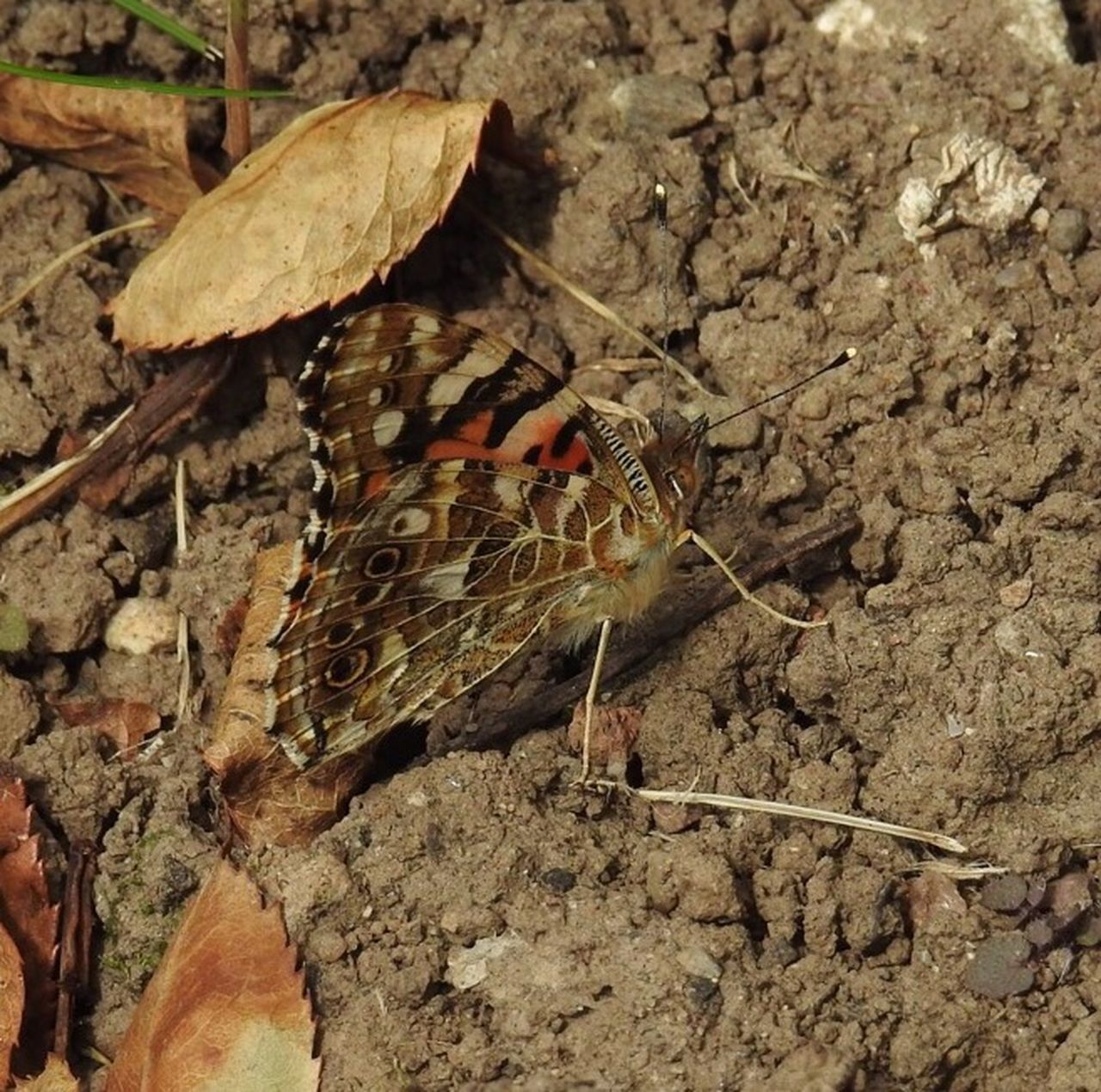 Natural World Nature Photography Wildlife Photography No People Wildlife & Nature Painted Lady Butterfly - Insect Butterfly Butterflies