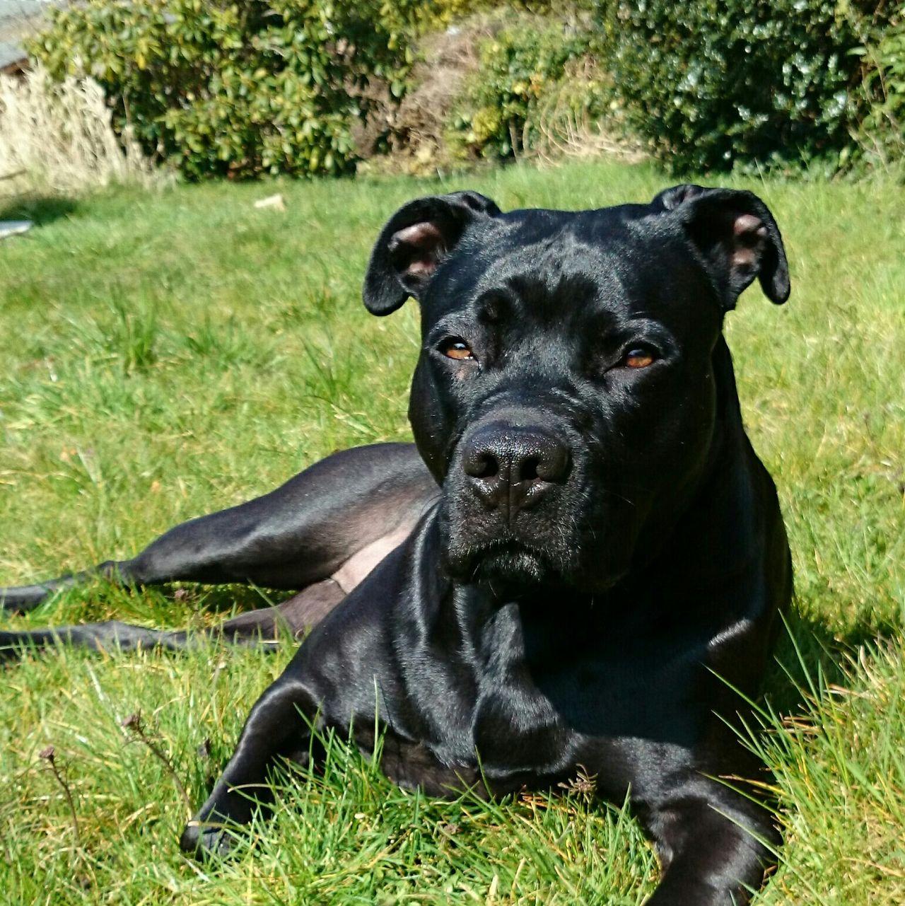Beautiful stock photos of pitbull, Animal Themes, Black Color, Close-Up, Comfortable