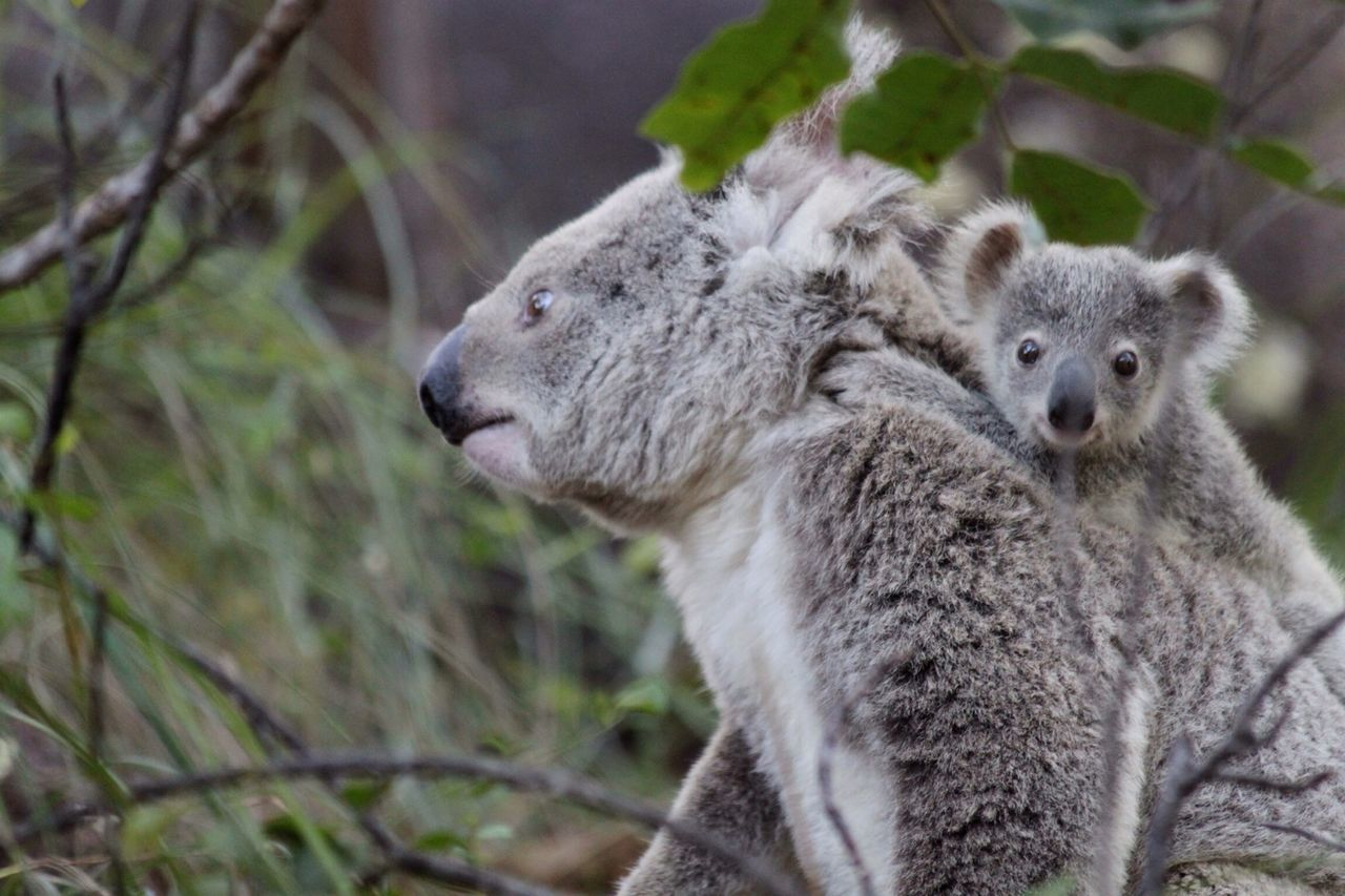 Beautiful stock photos of australia, Animal Themes, Animals In The Wild, Day, Female Animal