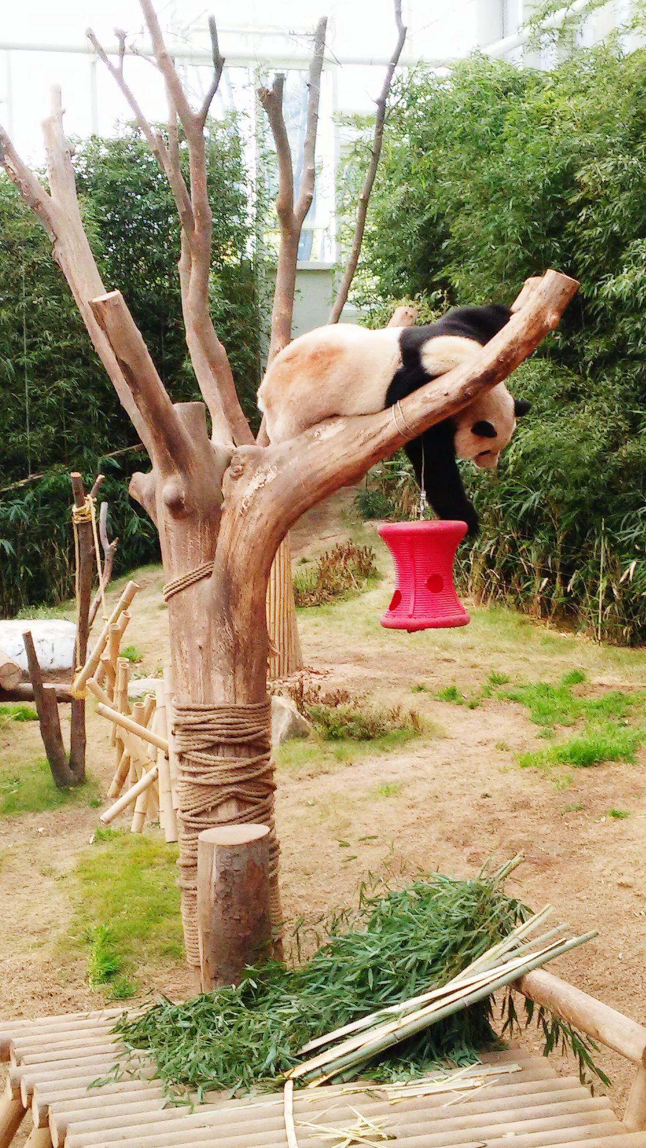 One Animal Tree Panda Animal Themes PANDA ♡♡ Pandashots Sleepyhead Tired! Sleepalldaysleepallnight Sleepanyposition
