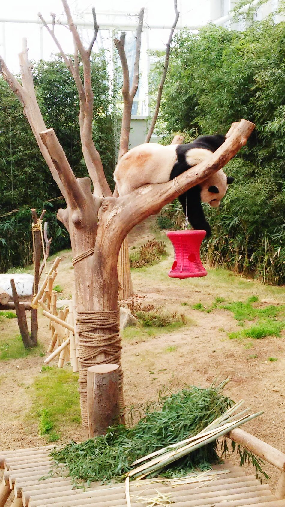 One Animal Tree Panda Animal Themes PANDA ♡♡ Pandashots Sleepyhead Tired! Sleepalldaysleepallnight Sleepanyposition