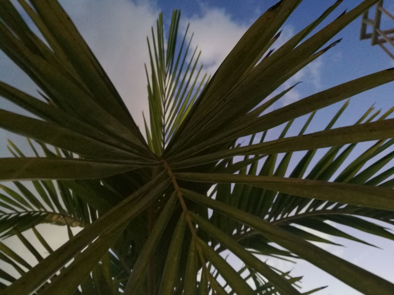 palm tree, palm leaf, leaf, growth, no people, close-up, day, green color, nature, sky, low angle view, outdoors, tree, beauty in nature