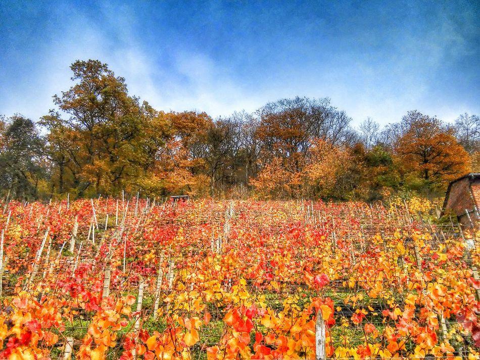 Autumn Colors Herbst In Seinen Schönsten Farben Landscape Wineyard